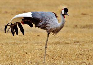 gray-crowned-crane-Tanzanie