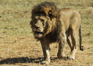 lion-Tanzanie